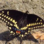 440px-Black_Swallowtail,_male,_Ottawa
