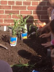 3 Sisters planting