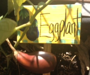 EggplantOct52014