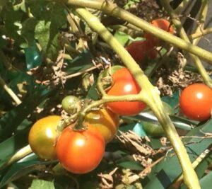 TomatocloseupOct52014