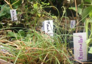 Variety of plant plugs