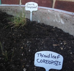 Praire dropseed is in a planter on Denton Pl. with a Coreopsis plant.