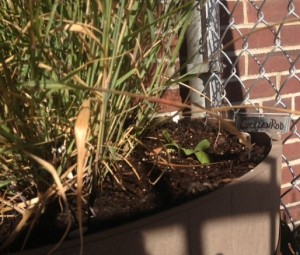 Goldenrod is in the planter with switchgrass next to the gym entrance.
