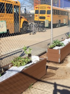 Students and teachers hardened off plants grown inside--from seed--and warmed soil with row cover.