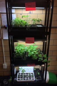 We consolidated seedling from multiple classrooms to live in one spot for care over spring break.