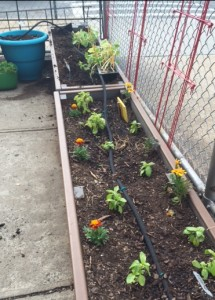 K-1 + K=2 beds are almost ready for cucumbers and tomatoes