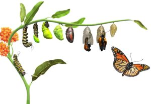 DK_butterfly_Lifecycle_Rev05_affmr0