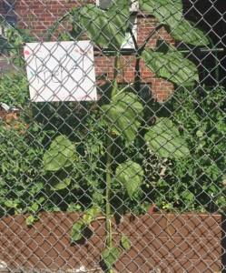 Volunteer sunflowers.