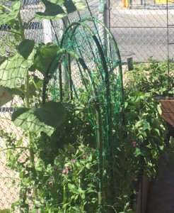 Snap pea tunnel.