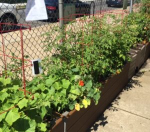 Students can eat the nasturtium orange and red flowers -- they have a very sweet taste.