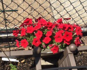 Unlike the orange nasturtium, these red petunia are NOT edible.