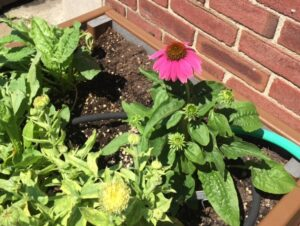 Echinacea cone flower brightens up the teaching bed. The sorrel next to it tastes really tangy. Everything in this bed is edible!