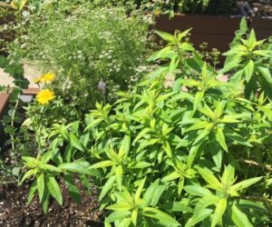 All the plants in the teaching bed are super fragrant. Lemon verbena and oregano are shown here.