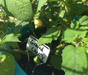 Ground cherry fruits are growing...